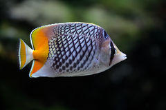 Tropical fish butterfly Stock Images