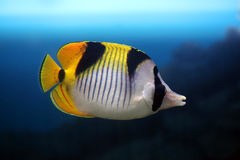 Tropical fish butterfly Royalty Free Stock Image