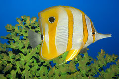 Tropical fish Butterflyfish. Tropical fish Butterflyfish and green coral. Sipadan. Celebes sea Royalty Free Stock Photos