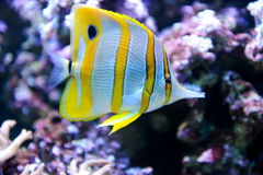 Tropical fish Butterflyfish Stock Photo