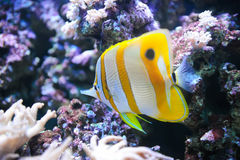 Tropical fish Butterflyfish Stock Images