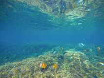 Tropical fish Butterflyfish by sand sea bottom. Tropical seashore life. Stock Photos