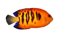Tropical Fish C. loriculus Stock Photos