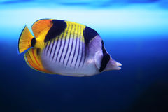 Tropical fish Chaetodon falcula. Floats in the aquarium Royalty Free Stock Photos