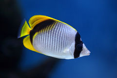 Tropical fish Chaetodon lineolatus Stock Image