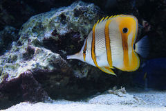 Tropical fish chelmon. Underwater scenery with tropical fish Chelmon rostratus Royalty Free Stock Photo
