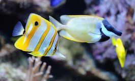 Tropical fish chelmon rostratus Stock Image
