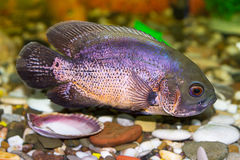 Tropical fish cichlid Royalty Free Stock Photography