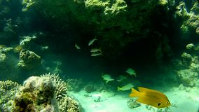 Tropical fish. the clear water of the red sea. Underwater coral reef red sea. The corals and fish. Transparent and warm water. Underwater life tropical fish stock footage