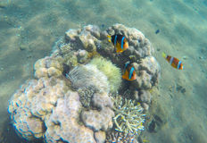 Tropical fish clown near coral reef and actinia. Clownfish in actinia. stock image