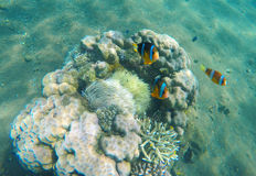Tropical fish clown near coral reef and actinia. Clownfish family in actinia. Underwater photo with coral reef fishes. Sea sand bottom and small coral Royalty Free Stock Images