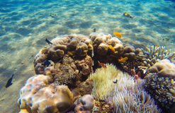 Tropical fish clown near coral reef and actinia. Underwater landscape. Underwater landscape. Tropical fish clown near coral reef and actinia. Clownfish in Stock Photos