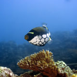 Tropical fish Clown Triggerfish Royalty Free Stock Photography