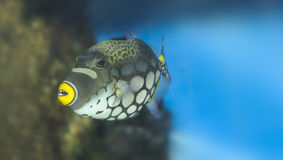 Tropical fish -Clown Triggerfish Stock Photography
