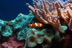Tropical fish Clownfish Stock Image