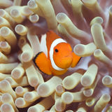 Tropical fish Clownfish Royalty Free Stock Images