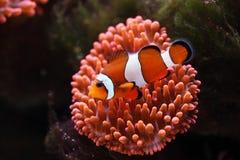 Tropical fish Clownfish Amphiprion ocellaris. Tropical fish Clownfish near to sea anemones, Amphiprion ocellaris royalty free stock images