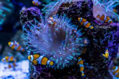 Tropical fish Clownfish Amphiprioninae. Among corals royalty free stock photos