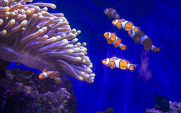 Tropical fish Clownfish Royalty Free Stock Image