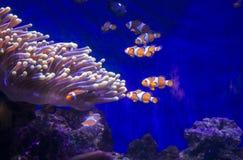 Tropical fish Clownfish Stock Photos