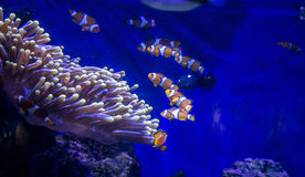 Tropical fish Clownfish Royalty Free Stock Photography