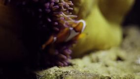 Tropical fish Clownfish. Stock footage of Tropical fish Clownfish stock video