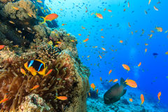 Tropical fish and a clownfish swim around a coral reef. Anemonefish and anthias swim around a large coral pinnacle royalty free stock photography