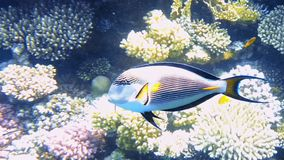 Tropical fish and colorful coral reef underwater. Shot. Red sea coral reef underwater nature wild life stock video footage