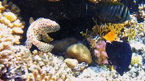 Tropical fish and colorful coral reef underwater stock video