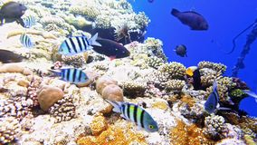 Tropical fish and colorful coral reef underwater. Shot. Red sea coral reef underwater nature wild life stock footage