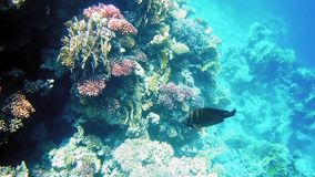 Tropical fish and colorful coral reef underwater. Shot. Undersea coral reef underwater nature wild life stock footage
