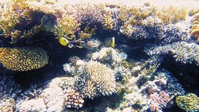 Tropical fish and colorful coral reef underwater stock video footage
