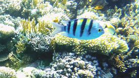 Tropical fish and colorful coral reef underwater stock footage