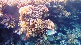 Tropical fish and colorful coral reef underwater. Shot. Undersea coral reef underwater nature wild life. Slow motion shot stock video footage