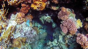 Tropical fish and colorful coral reef underwater. Shot. Undersea coral reef underwater nature wild life. Slow motion shot stock footage