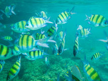 Tropical fish. Colorful tropical fish over coral reef Stock Photos