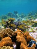 Tropical fish and coral Royalty Free Stock Photography