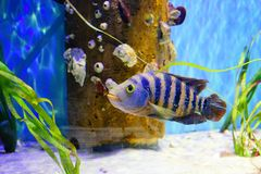 Tropical fish is swimming. Tropical fish, coral and blue water, taken in florida Royalty Free Stock Photo