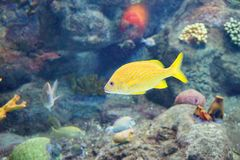 Tropical fish is swimming. Tropical fish, coral and blue water, taken in florida Stock Photography