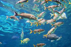 Tropical fish is swimming. Tropical fish, coral and blue water, taken in florida Stock Photo