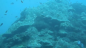 Tropical fish and coral close up, Bali stock video