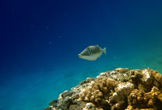 Tropical fish and coral reef. Underwater view of tropical fish swimming by coral reef Stock Image