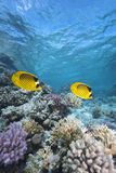 Tropical fish and coral reef. Masked butterflyfish (chaetodon semilarvatus) two adults over coral reef. Gordon reef, Gulf of Aqaba, Red Sea, Egypt Stock Photo