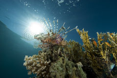 Tropical fish and coral reef Royalty Free Stock Images