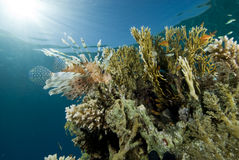 Tropical fish and coral reef Royalty Free Stock Photography
