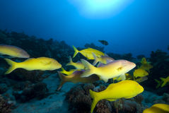 Tropical fish and coral reef. Yellowsaddle goatfish (Parupeneus cyclostomus), Small school swiiming over the coral reef, Gulf of Aqaba, Red Sea, Egypt Stock Photos