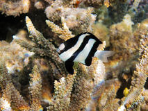Tropical fish on the coral reef. In Red Sea, Egypt Royalty Free Stock Image