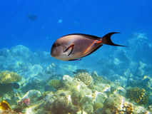 Tropical fish on the coral reef Stock Image
