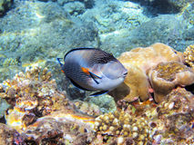Tropical fish on the coral reef Stock Photography
