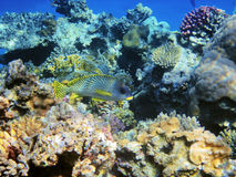 Tropical fish on the coral reef Stock Images